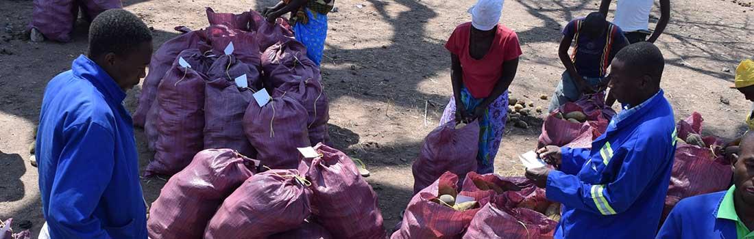 Weighing of baobab fruit in Mukumbura Mount Darwin