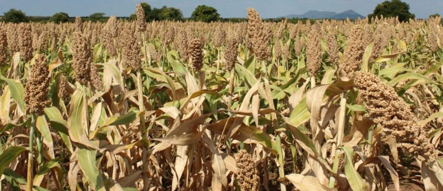 Sorghum production guide