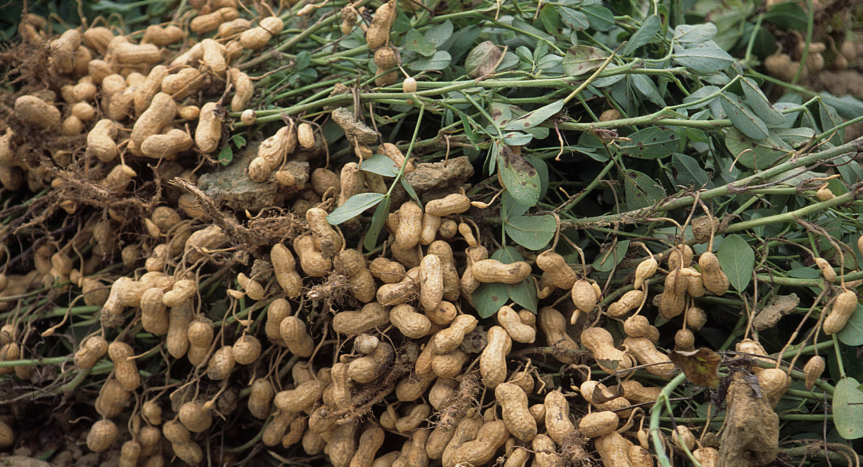 Shona guide on groundnut harvesting and post harvest handling for lead farmers